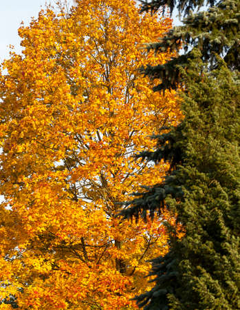beautiful yellow foliage of maple and green needles fir in autumn park, closeup, focus on deciduous tree on the left Фото со стока