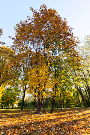 yellowed leaves of maple growing in the park, landscape in sunny weather in the autumn season Stock Photo