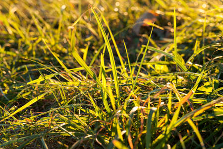several new sunlight-gleaming wheat germs, grown on the place where the grass dries and freezes
