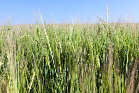 narrow thin ears of rye are still not ripe, photo close-up in summer against the background of blue sky 写真素材