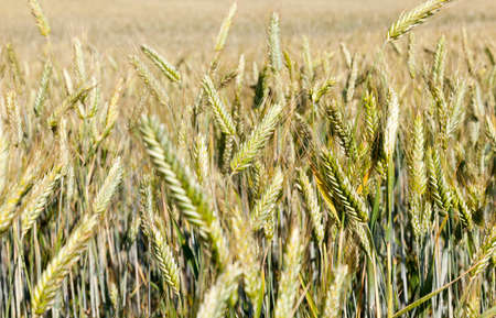 field of not ripe, but ripening wheat on an agricultural field in the summer, close-up