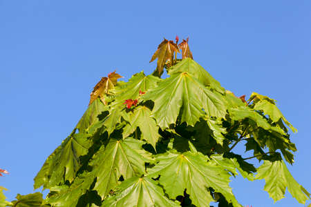 the top of a young maple tree on which begin to grow red leaves, closeup against a blue sky in the spring
