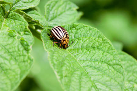 one adult colorado sitting on a young green foliage of a potato, spring, closeup