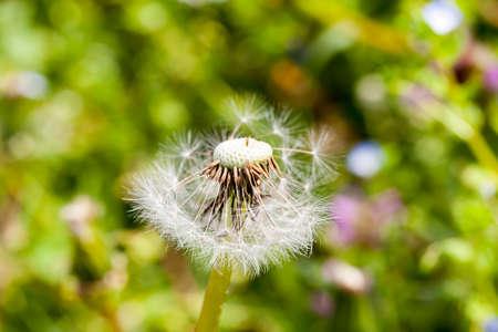Bola de diente de león blanco, que se derrumbó y las semillas volaron desde el flujo del viento, foto en primer plano de primavera