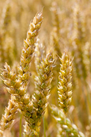 poorly illuminated ears of wheat in the field, before ripening and harvesting in the summer season