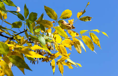 a few yellowing maple ash leaves against a background of a blue autumn sky, plant details 版權商用圖片