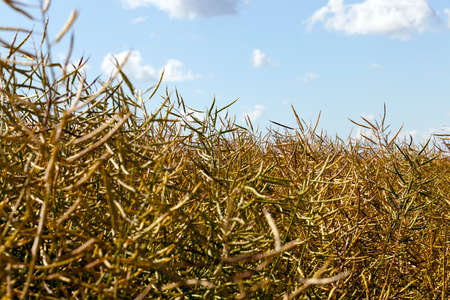 ripe dry rapeseed on the field before the harvest of the oilseed crop, close-up against the blue sky Reklamní fotografie