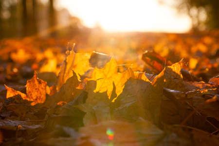 follaje iluminado por el sol en la temporada de otoño, foto en primer plano con poca profundidad de campo