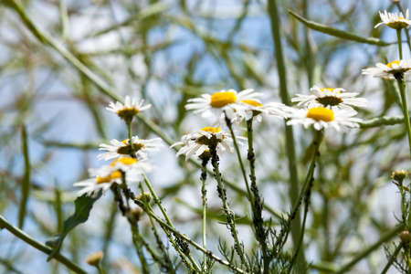 a large number of black aphids living on branches of chamomile, closeup