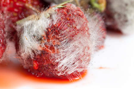 covered with long filaments of mildew red ripe strawberry, closeup of spoiled food