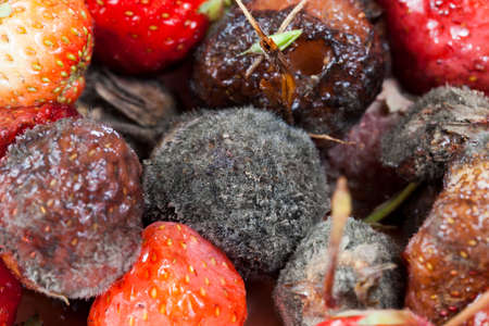 a bunch of red ripe strawberries, which began to rot and are covered with mold, a closeup, spoiled and discarded harvest of strawberry berries