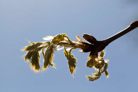 A new oak foliage that appeared in the spring from the bud on a tree, a photo of details of an oak tree against a blue sky