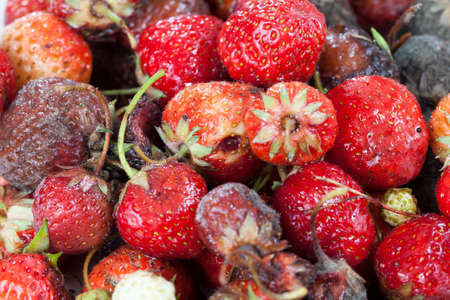 a lot of debris from the rotted and spoiled harvest of red and ripe strawberries, which was misused