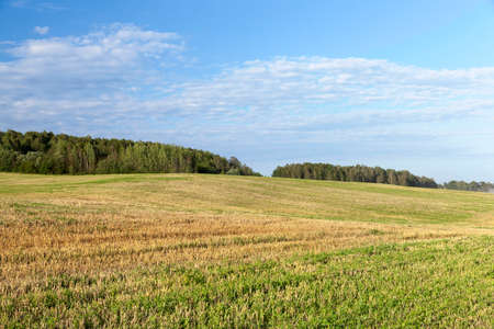 agricultural field, which gathered the harvest of cereals, Photo landscape with forest and blue sky with clouds, Summer season Stock Photo