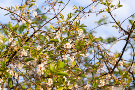 thin branches of cherry with white small flowers during spring blossoms and pollination