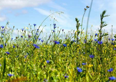 Ein ganzes Feld grüner Erbsen mit Schoten, die im Sommer aufgetaucht sind, viele blaue Kornblumen wachsen auf dem Feld Standard-Bild