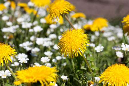 yellow dandelions with open petals in warm summer or spring weather, closeup