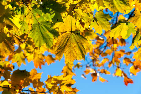 Bright yellowed and illuminated by sunlight Maple leaves in autumn season, closeup, Blue sky in the background