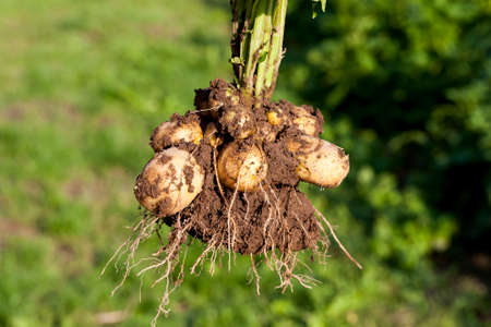 dug from the soil tubers of yellow potatoes with ripe large and small potatoes, fresh young potatoes of early ripening, summer, closeup Stok Fotoğraf
