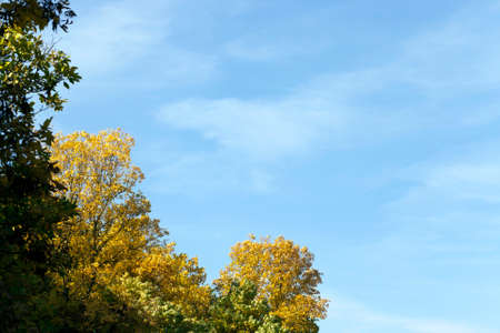 autumn darkened and yellowed ash foliage in the autumn season, sunny weather in the daytime Foto de archivo