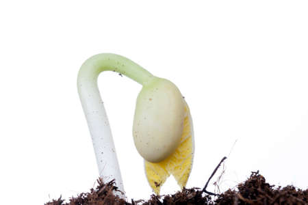 A young green bean plant growing from the soil, closeup