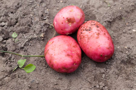 an agricultural field, where large red potato varieties were dug from the soil, which ripens earlier than others, a close-up in the sumer Stock Photo