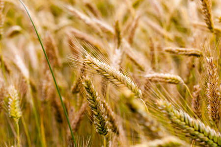 poorly streaked ears of rye in summer, closeup before harvesting Banque d'images