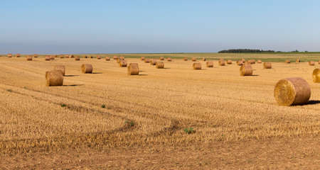 twisted stacks of straw after harvesting barley in the summer, landscape Stock Photo