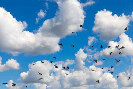 flying in the background of a blue sky with white cumulus clouds black flock of a raven, closeup Standard-Bild