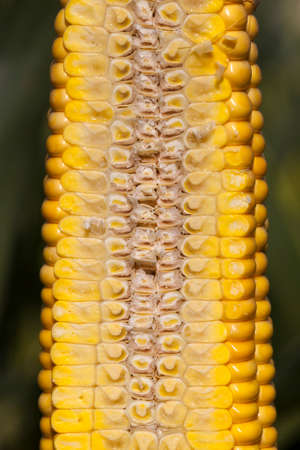 cut corn cob, internal structure and structure of yellow grains, covered with juice