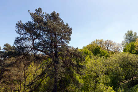 coniferous and deciduous trees in spring, landscape in sunny weather