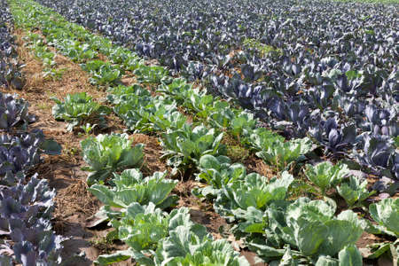 field with a mixed crop of green and red cabbage