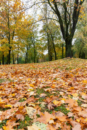 yellowing leaves on maple trees in the fall season., Foliage is not covered due to cloudy weather, location - the territory of the park, Visible part of the bare branches of plants