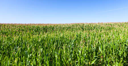 green corn field on a background of blue sky, summer landscape of agricultural activity