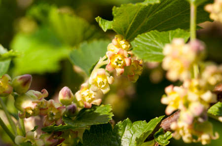spring season, close-up flowering currant bushes with small green buds