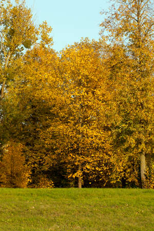 yellow foliage of linden trees in autumn, landscape in a park or in a forest