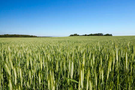 summer landscape of agricultural wheat field with cereal, blue sky