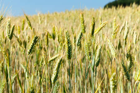 agricultural field on which the crop of the products necessary for a food of people or animals grows Stok Fotoğraf