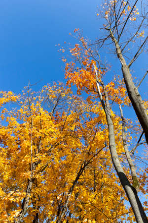 Blue sky and sunny weather in the autumn season, deciduous trees covered with yellow foliage in September. Archivio Fotografico