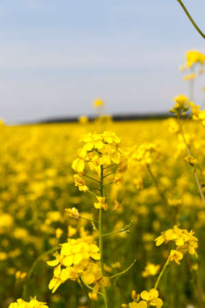 Plant canola used to produce useful products including alternative energy sources, biofuels