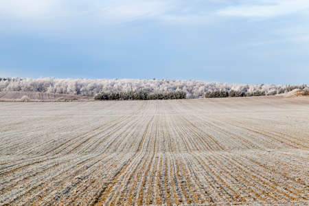 Long rows of frost-covered wheat on an agricultural field in a frost, frost trees in the background, sunny weather