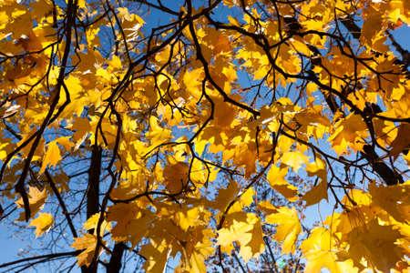 Yellow Maple study