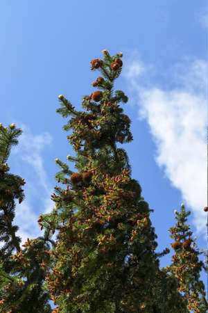 Beautiful young cones hanging on evergreen branches of spruce, close-up against a blue sky