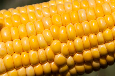 Open ear of corn with beautiful fresh yellow grains, in the agricultural field, in the summer season