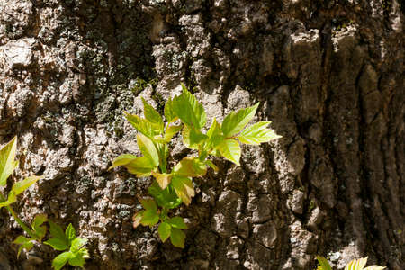A new sprout sprouting through a tree trunk with green leaves in spring