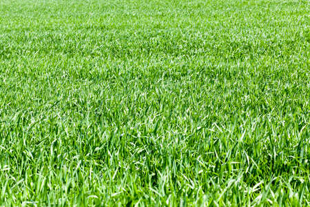 wheat field with green sprouts of wheat in early summer or late spring, agricultural
