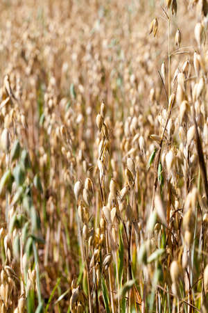 Growing together ripe yellow and unripe green spikelets of oats on an agricultural field