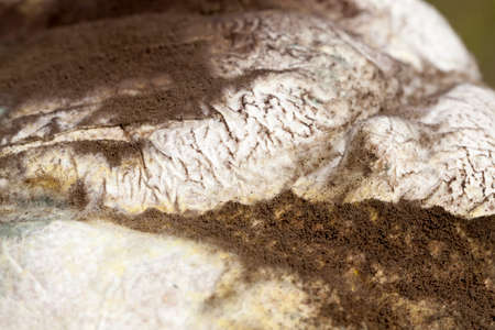 covered with mold and fungus, rotting from long-term or improper storage of a loaf of bread, disgusting dangerous food