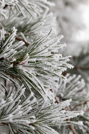 pine needles covered with snow and frost in the winter. close-up.