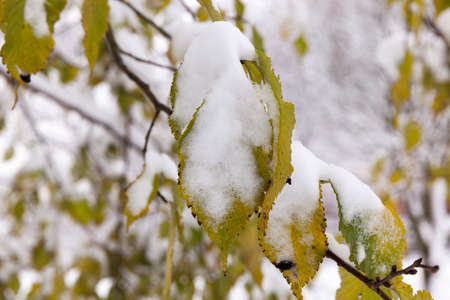 covered with snow-green leaves of trees in the autumn season. After a snowfall in autumn